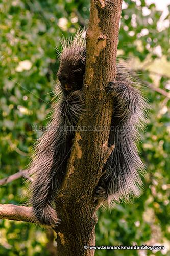 porcupine_27194