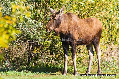 moose_28149