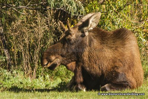 moose_28196