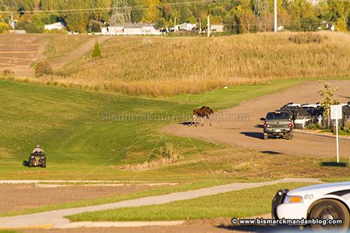 moose_28233