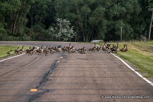 road_geese_30196