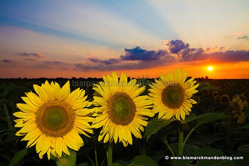 sunflower_sunset_30502